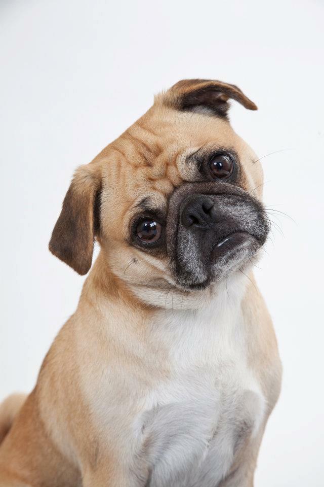 Carlton, Pug