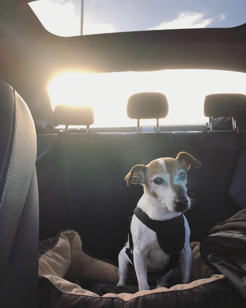 A Jack Russell terrier in a car.
